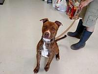 Tech's story Tech is a one year old male Pit Bull. He