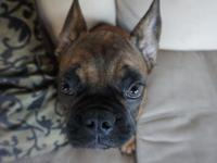 Ted is a Very kind and gentle baby French bulldog
