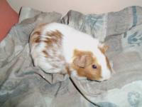 We have young & adult guinea pigs up for adoption for