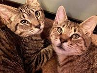 Teddy and Bella baby tabby siblings's story Teddy and