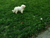 Male 7 months maltipoo. He is not potty trained. He