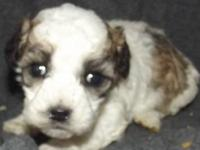 Gorgeous Teddy Bear (bichon/toy poodle) puppies born
