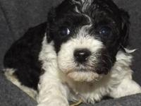 Sweet and fluffy Teddy Bear (bichon/toy poodle) puppies