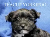 Teddy bear Yorkipoo, Teacup. Teacup Male. D.O.B.:
