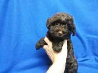 Teddy bear face Yorkipoo Rare brown color. Toy Female.