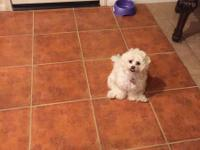 A year and three month old Teddy Bear (Shih Tzu &