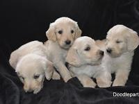 """We have a beautiful litter of F1 English Cream """"Teddy"""