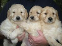 High-Quality family pets Goldendoodles, the