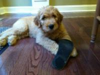 Beautiful F1 goldendoodle pups for sale. Males/Females,