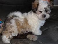 Male Teddy Bear puppy, 10 weeks, First gos, Vet
