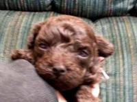 Teddy bear face Maltipoo Tiny Toy Male D.O.B.: