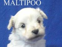 Teddy bear Puppy face Maltipoo boy Tiny Toy Male