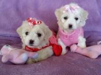 TEACUP Teddy Bear Face Maltipoo Puppies. 2 stunning