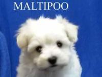 Teddy bear Puppy face Maltipoo boy Tiny Toy Male