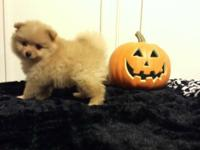 No resellers! Meet Bentley, He's an adorable orange