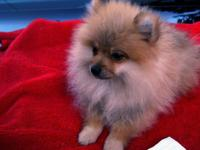 Pomeranian Puppies, Purebred,Beautiful Little