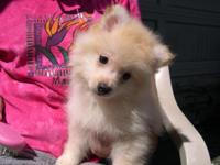 I Have 3 male white Pomeranian puppies,that are ready