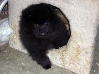 I Have 2 - Pure Black Teddy Bear Triple coat thick fur