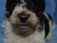 Gorgeous teddy bear (bichon/toy poodle) puppies just