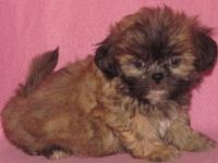 Teddy Bears are a Bichon Frise and a Shih Tzu mix.
