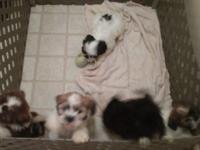 1 female $300 males $250. Shih Zhu and Bichon Friese