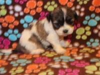 I have 3 Tricolor and white Parti females, white with