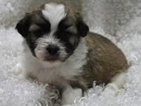 I have 1 lil male teddy bear puppy $475 approx. 9