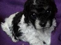 Sweet teddy bear (bichon/toy poodle) puppies will be 8