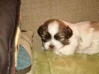 Bichon/Shih Tzu puppies (Teddy Bear Breed) for sale. We