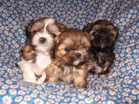 Beautiful Teddy Bear puppies. Mom is a purebred Shih
