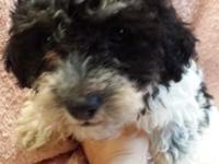 Beautiful, female teddy bear (bichon/toy poodle) puppy