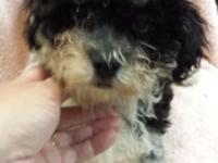 Happy, female teddy bear (bichon / toy poodle) puppy