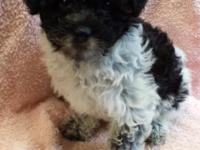 Sweet, female teddy bear (bichon/toy poodle) puppy just