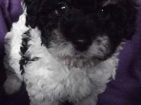 Handsome male teddy bear (bichon/toy poodle) puppy will