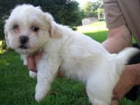 "We have one ""Teddy Bear"" designer breed puppy waiting"
