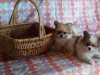 Shi-a-Pom Puppies: (Shihtzu/Pomeranian) - 1 female, 2