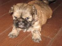 "Adorable plump shih tzu female with ""teddy bear"" face."