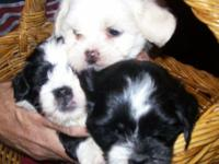 "We have three ""Teddy Bear"" designer breed puppies for"