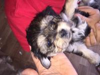 Shorkie puppies. Mamas a 6-7 pound shih tzu. Fathers a