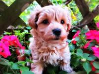 Adorable teddy bear type puppies, hypoallergenic, non