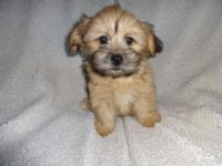 Male Teddy Bear puppy, first shots and de wormings, Non