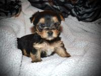 Pretty T-Cup Yorkie PuppiesTEXT ME ON (303) 219-7916