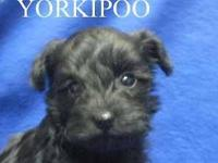 Teddy bear face Yorkipoo female accepting deposit. Tiny
