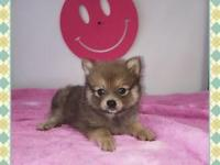 AKC POMERANIAN Puppies.. ONLY 3 LEFT!!! SUPER ADORABLE