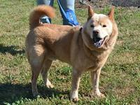 Teddy's story Teddy is a male, 5-6 year old Chow Chow