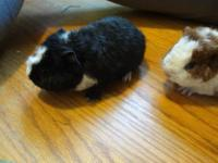 Purebred Teddy guinea pig babies. Red with White male