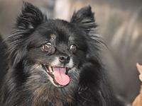 Teddy's story Teddy is a 10 year old pomeranian. He is