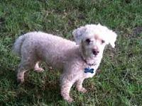 Teddy's story Teddy the ten pound, Toy Poodle is truly