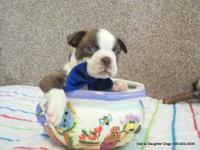 Teddy is a red and white male Boston Terrier puppy who
