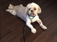 Teddy's story Meet Teddy! He is an 8 year old male Shih